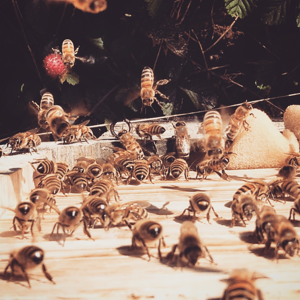 #beebutt #Honigbienen
